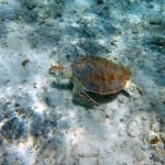 Plusieurs tortues autour de la petite île derrière le catamaran